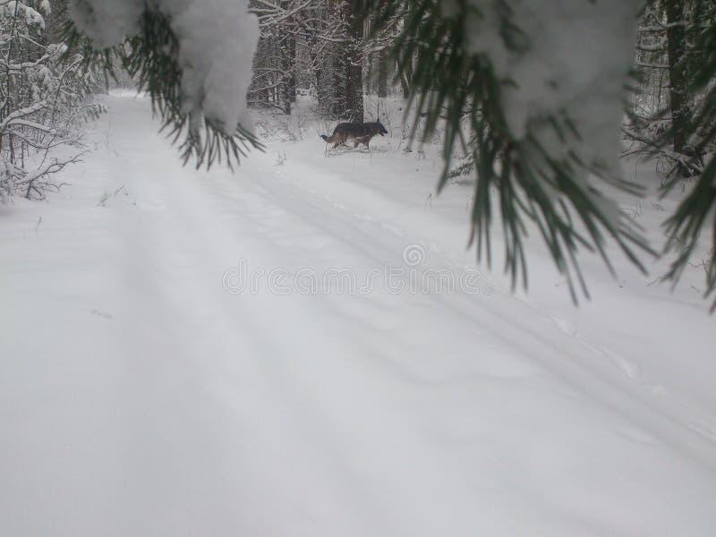 Hond in de winterbos stock foto