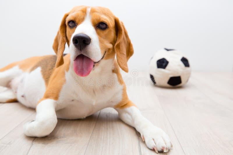 Hond dichtbij favoriet stuk speelgoed stock foto