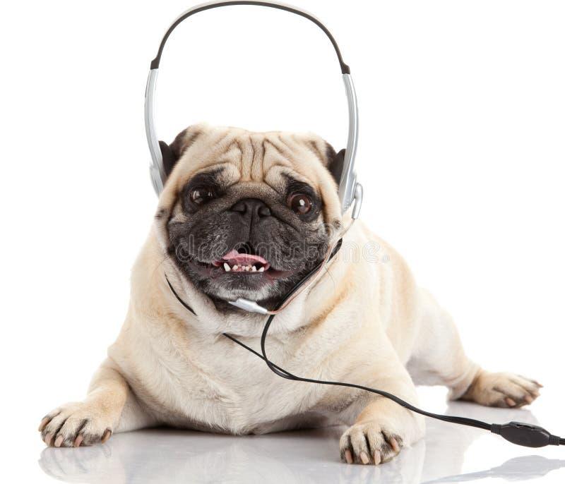 Hond die aan muziek luistert Pug Hond die op Wit wordt geïsoleerdu royalty-vrije stock foto's