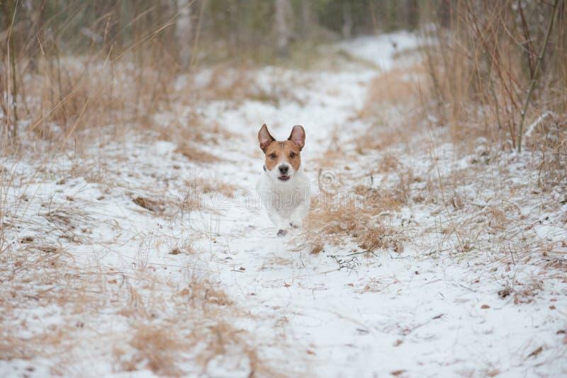 Hond die bij de winterbos lopen die door sneeuwweg lopen stock afbeelding