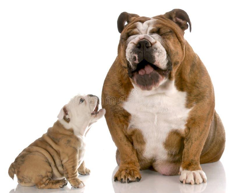 Hond die bij puppy het ontschorsen lacht stock afbeeldingen