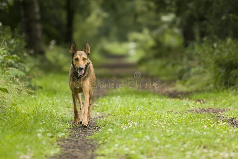 Hond die in bos loopt royalty-vrije stock afbeeldingen