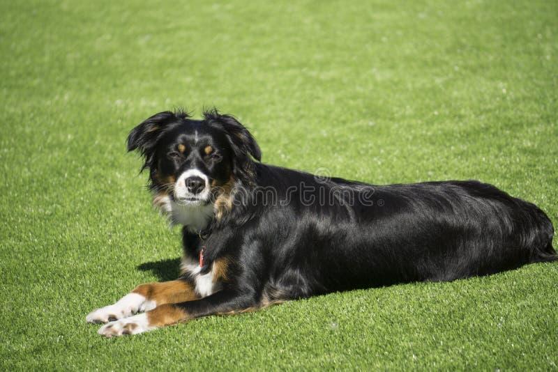 Hond die in de binnenplaats bepalen stock afbeelding