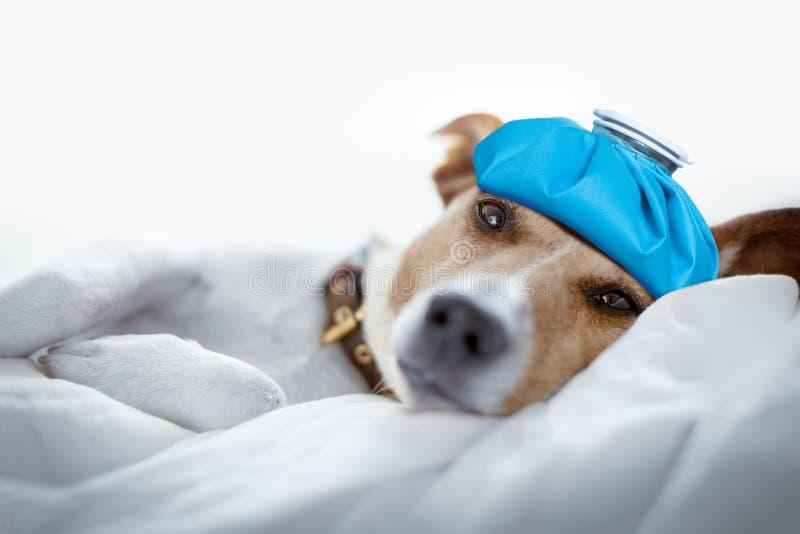 Hond die of de kater en de hoofdpijn slapen rusten royalty-vrije stock foto's