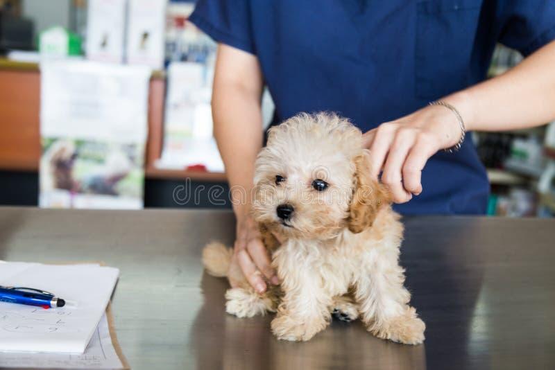 Hond die door een dierenarts worden onderzocht stock fotografie
