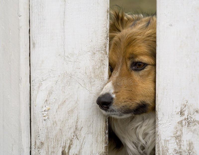 Hond die door een omheining kijkt stock foto's