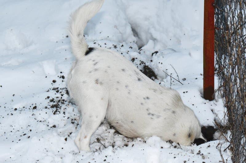 Hond die een gat in sneeuw graven stock afbeelding
