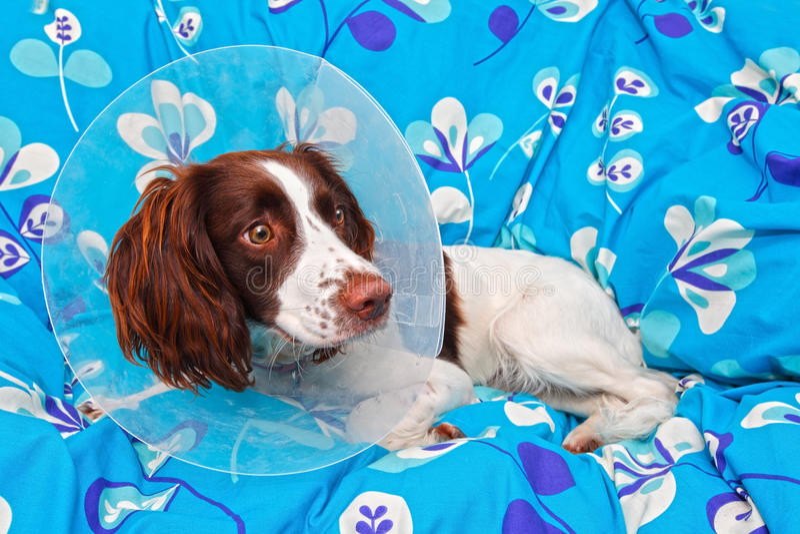 Hond die een kegel draagt stock foto