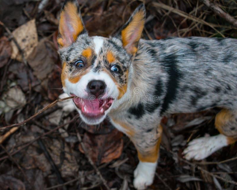 Hond die een stok bijten royalty-vrije stock afbeeldingen