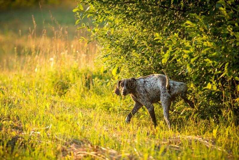 Hond die in een weide plassen stock foto's