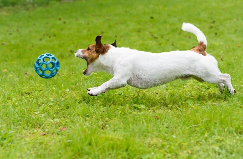 Hond die en stuk speelgoed bal achtervolgen vangen springend op groen gras stock afbeelding