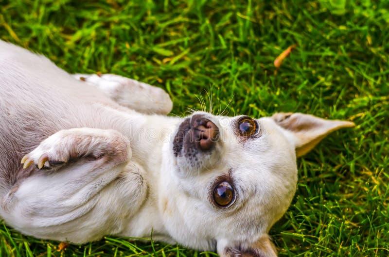 Hond die in gras leggen royalty-vrije stock afbeeldingen