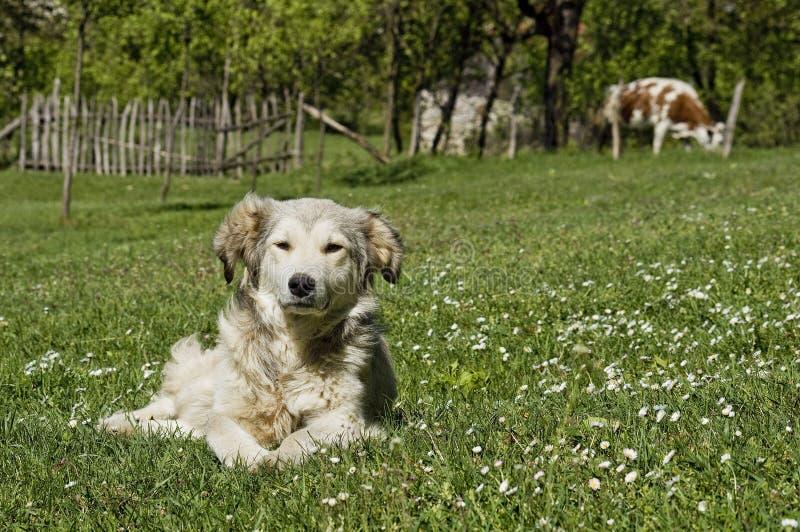 Hond die in Gras in Platteland leggen royalty-vrije stock fotografie