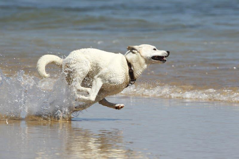 Hond die in het water loopt stock foto