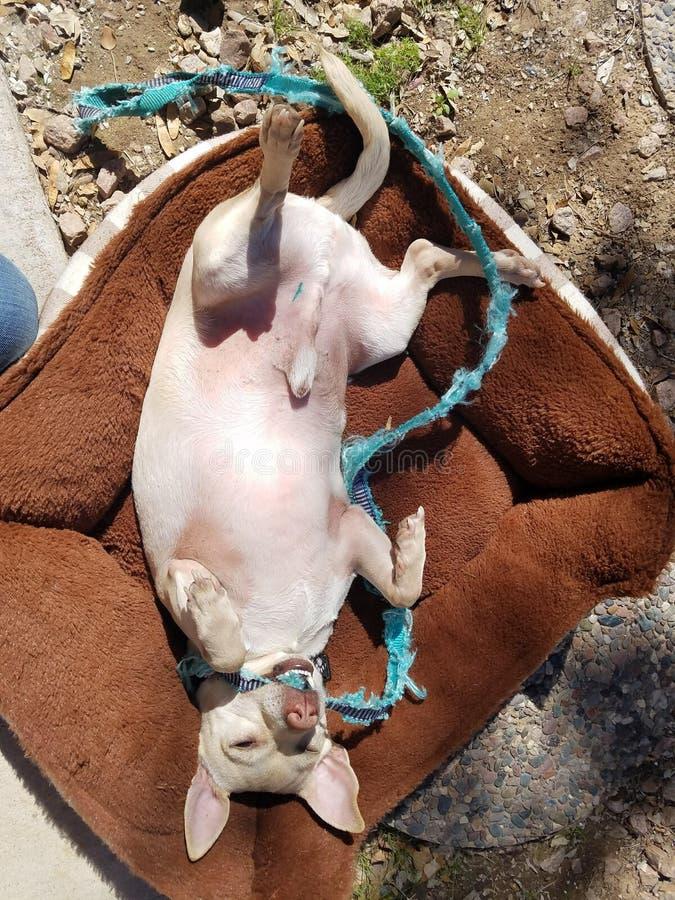 Hond die in hondbed liggen stock foto