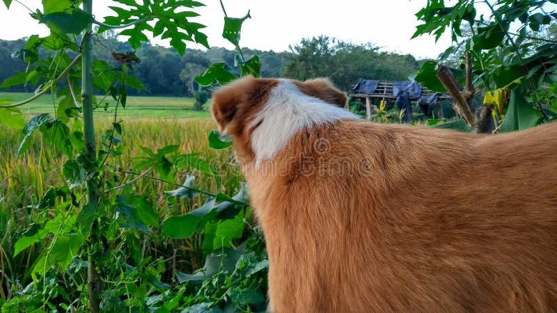 Hond die iets zoeken paddyfield royalty-vrije stock fotografie