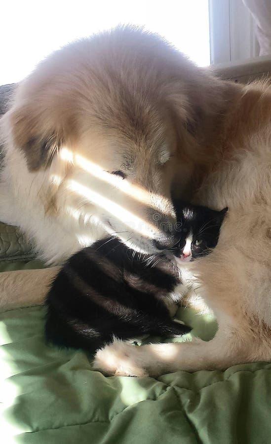Hond die katje beschermen royalty-vrije stock foto's