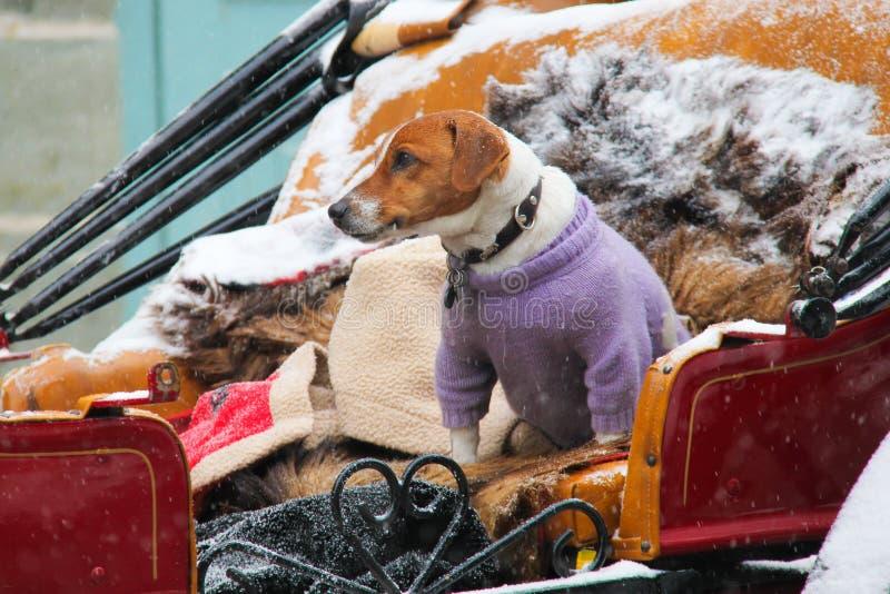 Hond die kleren in de winter dragen stock foto