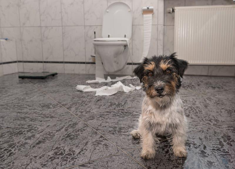 Hond die maken knoeien - de terriër van Russell van de chaoshefboom in de badkamers stock afbeeldingen