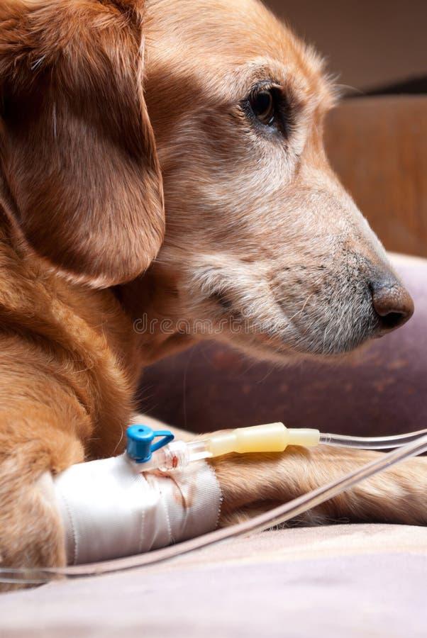 Hond die met cannula intraveneuze therapie terugkrijgt stock fotografie