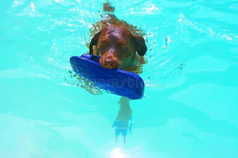 Hond die met een pantoffel zwemt stock foto's