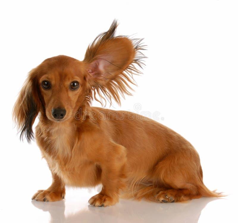 Hond die met omhoog oor luistert