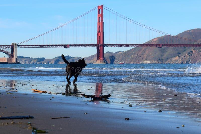 Hond die naar Golden gate bridge, San Francisco, CA lopen stock fotografie
