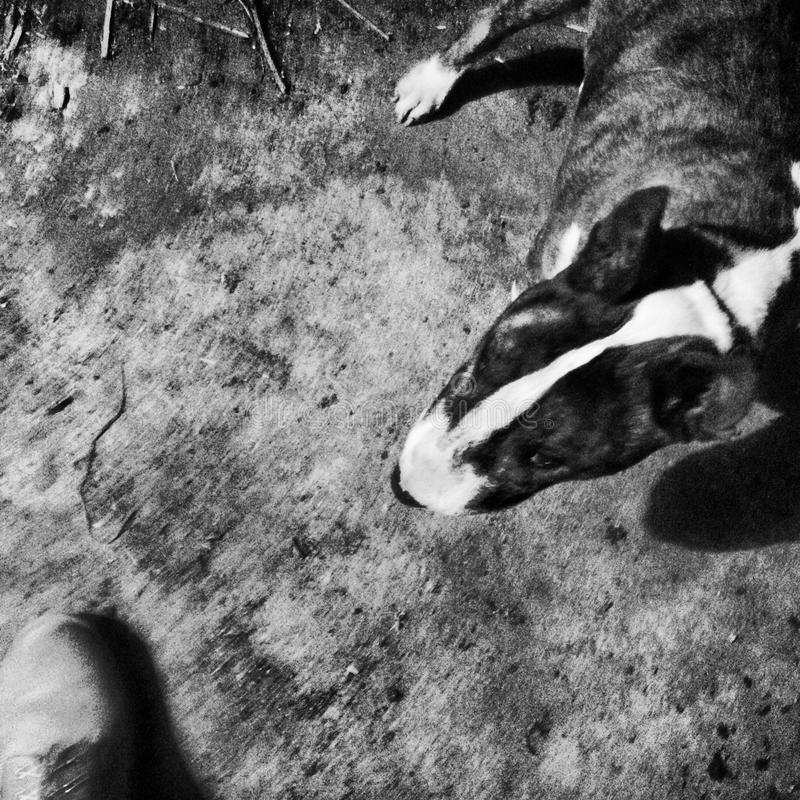 Hond die op de grond liggen stock afbeelding