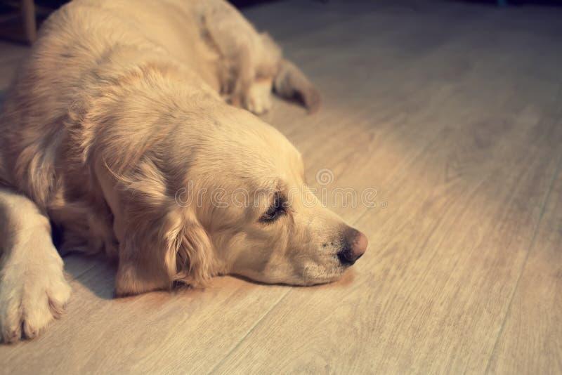 Hond die op de vloer ligt stock fotografie