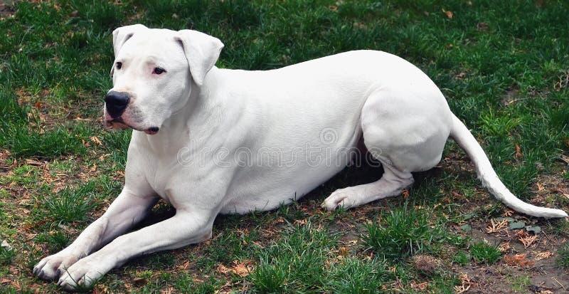 Hond die op een bevel wacht stock fotografie