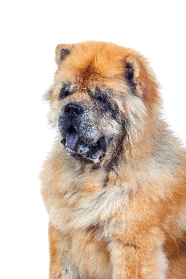 Hond die op een Witte Achtergrond wordt geïsoleerdb royalty-vrije stock foto