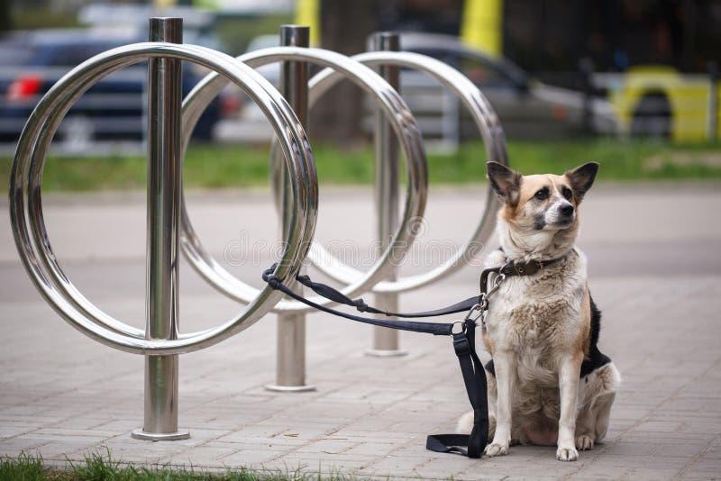 Hond die die op eigenaar wachten, aan een rek van het fietsparkeren wordt gebonden Gebonden hond stock fotografie