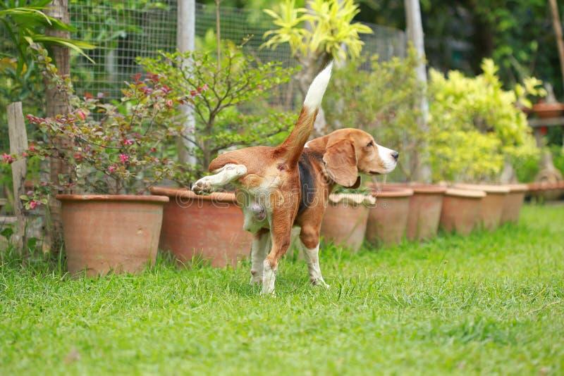 hond die op gazon plassen stock fotografie
