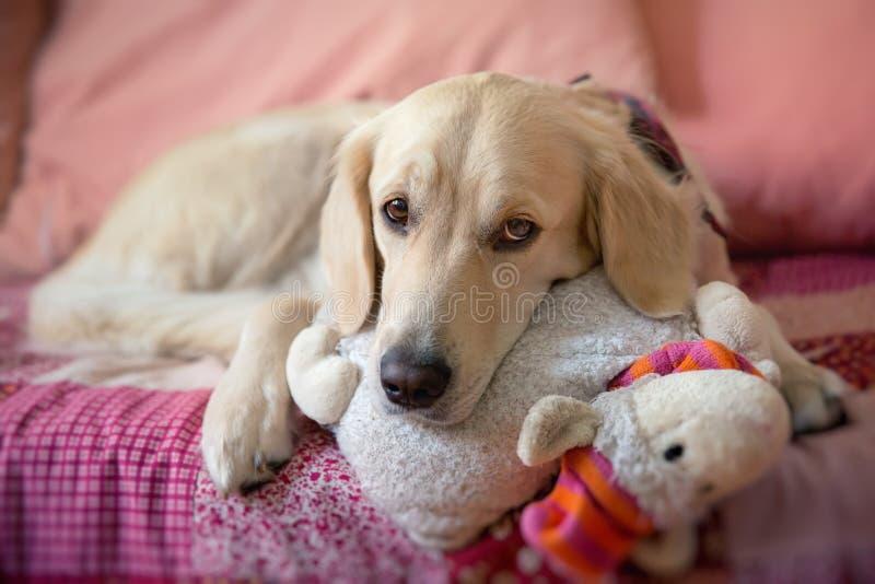 Hond die op het bed ligt stock afbeelding