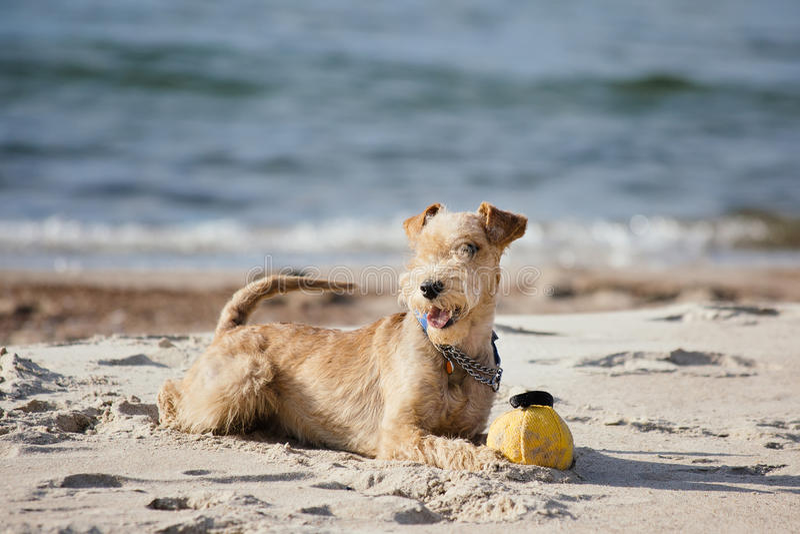 Hond die op het strand met een gele bal liggen stock foto
