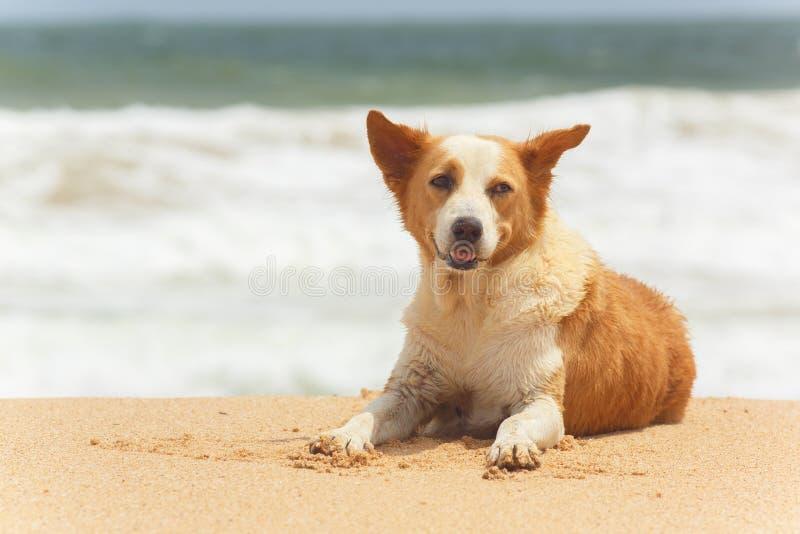 Hond die op het tropische strand liggen royalty-vrije stock fotografie