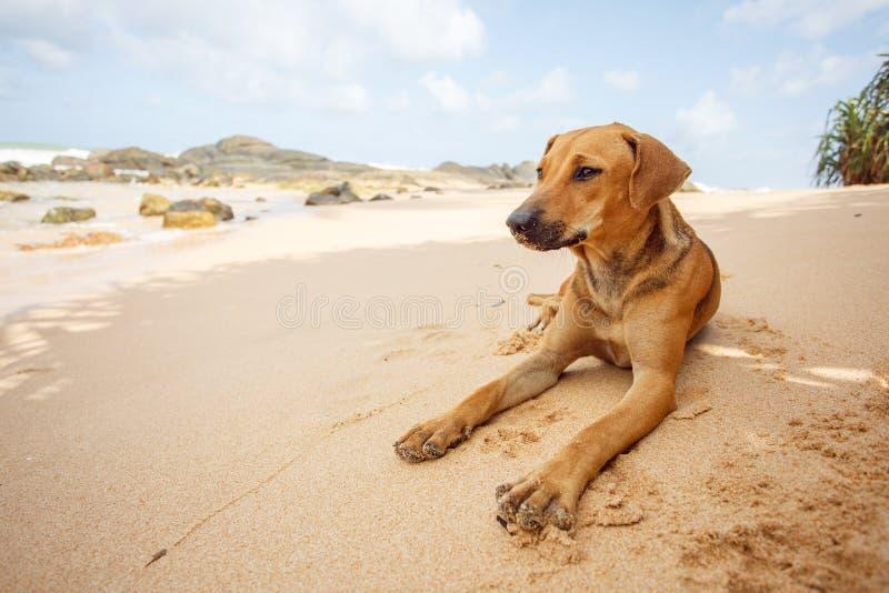 Hond die op het tropische strand liggen royalty-vrije stock foto's
