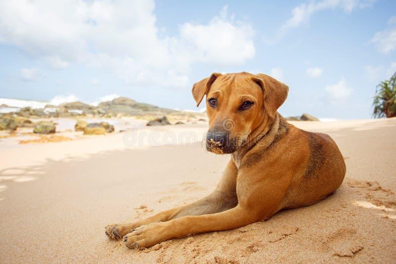 Hond die op het tropische strand liggen stock foto's