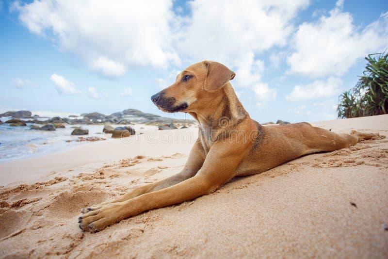 Hond die op het tropische strand liggen stock afbeelding
