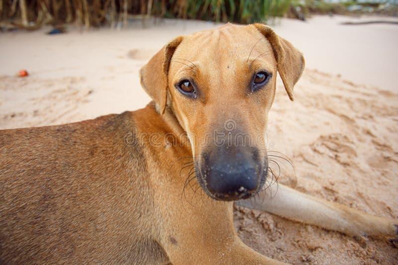 Hond die op het tropische strand liggen stock foto