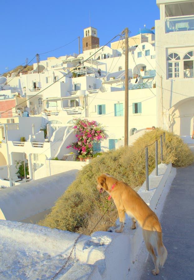Hond die op Santorini-eiland, Griekenland bezienswaardigheden bezoeken stock foto's