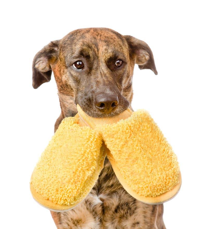 Hond die pantoffels in mond houden Geïsoleerdj op witte achtergrond royalty-vrije stock fotografie