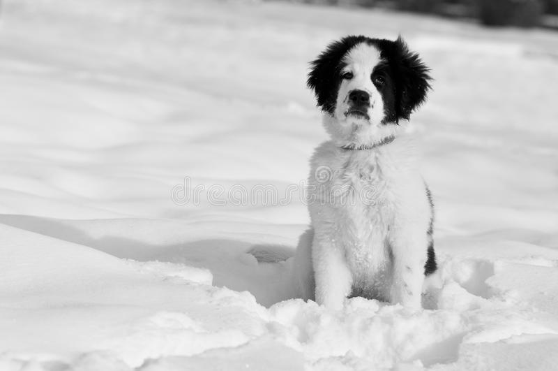 Hond die in sneeuw wacht royalty-vrije stock fotografie