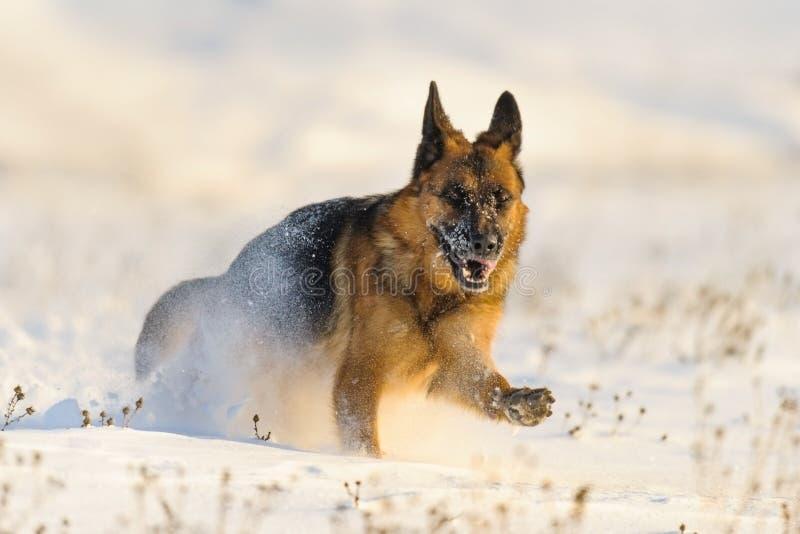 Hond die in sneeuw in werking wordt gesteld stock foto