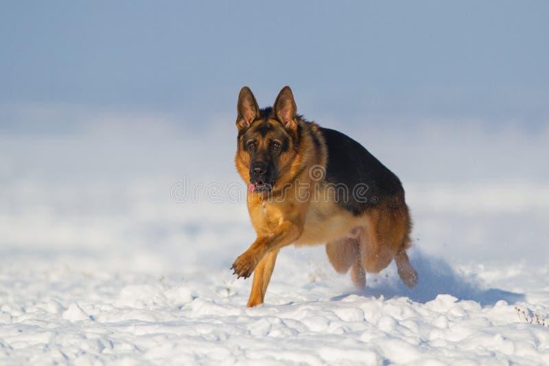 Hond die in sneeuw in werking wordt gesteld stock afbeelding