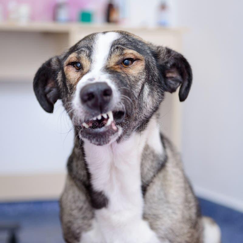 Hond die tanden toont stock fotografie