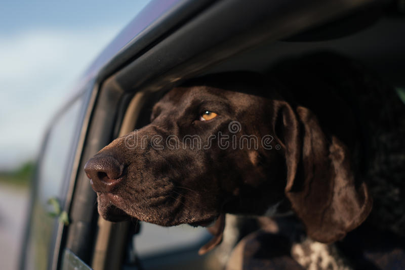 Hond die uit Autoraam, het Leuke Duitse wijzerhond reizen kijken royalty-vrije stock afbeeldingen
