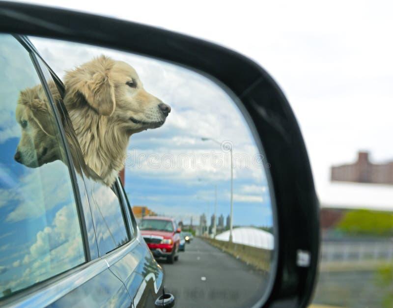 Hond die uit autoraam kijken stock foto