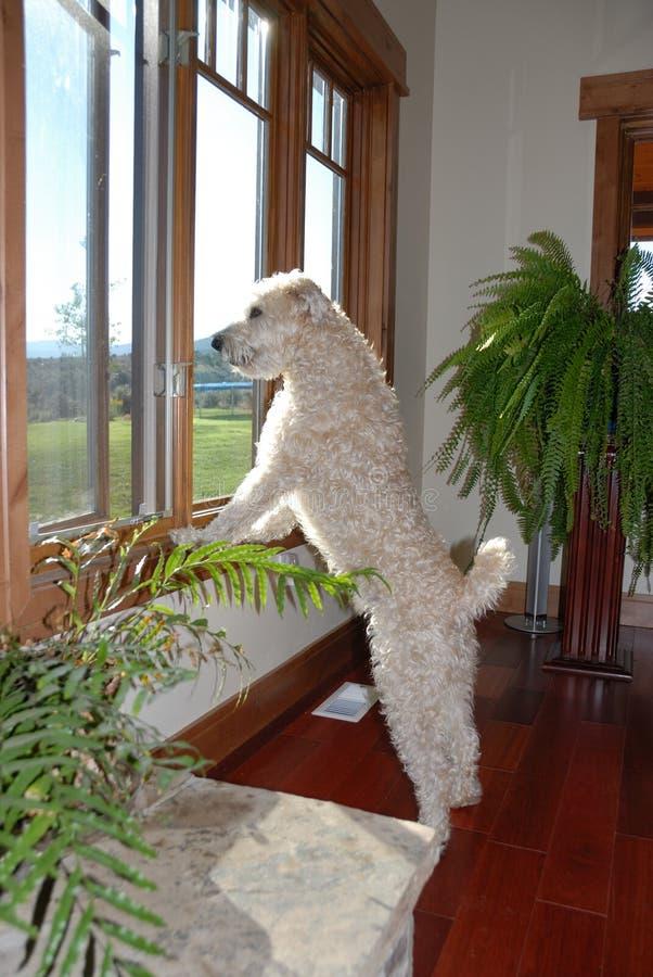 Hond die uit venster kijkt