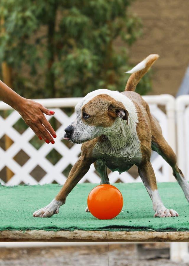 Hond die uitdagend over het opgeven van de bal zijn stock afbeelding